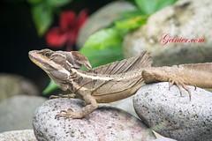 The love for nature. #rainforest #love #puravida #costarica #lizard LaCusinga.com