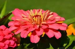 Zinnia flower (Sandra Király Pictures) Tags: zinnia flower flowers budapest hungary outdoor nature summer margitsziget margaretisland
