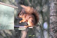 Red Squirrel (pauline s....) Tags: squirrel redsquirrel lochleven rspblochleven animal outdoor