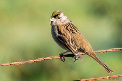 Golden Crowned Sparrow (anything but, common) (MelRoseJ) Tags: sanrafael california unitedstates goldencrownedsparrow lasgallinas a77ii autofocus alpha sonyalpha sony sal70400g sonyilca77m2 nature northerncalifornia
