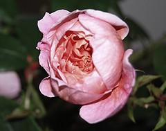 Jesu, süße Gnadensonne (amras_de) Tags: rose rosen ruža rosa ruže rozo roos arrosa ruusut rós rózsa rože rozes rozen roser róza trandafir vrtnica rossläktet gül blüte blume flor cvijet kvet blomst flower floro õis lore kukka fleur bláth virág blóm fiore flos žiedas zieds bloem blome kwiat floare ciuri flouer cvet blomma çiçek