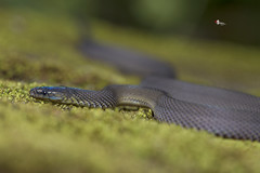 /  Achalinus niger (Maki, 1931) (Sam's Photography Life) Tags:           nature snake canon 1dx 100mm 1d   marco
