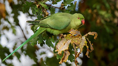 a rose-ringed parakeet during a day with a lot of wind (Franck Zumella) Tags: green vert rose ringed parakeet perruche perroquet bird oiseau tree wind arbre vent red rouge