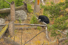 No easy way out (ChicagoBob46) Tags: blackbear bear yellowstone yellowstonenationalpark nature wildlife