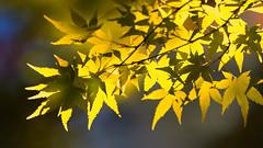 Autumn Light (Ted Tsang) Tags: olympus em1 40150mmf28 bokeh autumn yellowleaves yellow maple leaves plants tree nature macroshot taiwan fushoushanfarm taichung lishan 梨山 台中 福壽山農場 楓葉 松盧 紅葉 koyo momiji