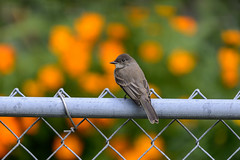 Eastern Phoebe-40514.jpg (Mully410 * Images) Tags: flowers orange bird birds fence backyard birding phoebe easternphoebe birdwatching birder chainlinkedfence