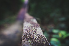 Army on the Move (Rich Court) Tags: bridge army ant rail ants railing colony carrying thousands hundreds