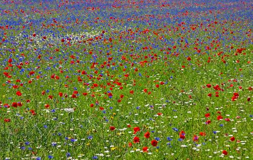 piana di Castelluccio - fioritura