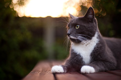 Day One Hundred and Eighty / Year Four. (evilibby) Tags: sunset cat garden outside outdoors bokeh profile whiskers paws project365 catniss