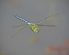 Emperor Dragonfly, Anax imperator (AJC1) Tags: dragonflies insects anaximperator