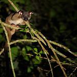 Small-toothed Palm Civet, Arctogalidia trivirgata in Khao Yai national park thumbnail