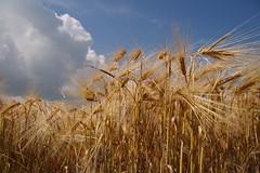 Ähren (Fooß) Tags: topf25 natur himmel bio eifel bauer korn getreide ähren flickrbronzetrophygroup