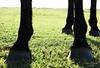 'Das quatro patas do pingo'.. (Suzana Fernandes Fotografia) Tags: santa horse rio de caballo grande do sheep ar maria natureza pasto patas da campo mate rs poncho livre reflexo cavalo paraiso são pretoebranco josé sul pampa tesoura chimarrão vaca pala campanha boi mangueira gaucho gaúcha chapéu campestre cintura faca prenda açude bota laço aguiar fimdetarde fronteira ovelha gaúcho tradição faixa pordesol tosa gado peão esporas porteira esquila prateada dilermando coxilha ovelheiro maneia campeiro porteirinha terneiros pampeiro tesouraamartelo