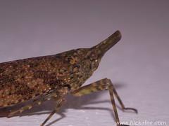 Lantern Bug - (Fulgoridae) (Hickatee) Tags: forest rainforest belize wildlife culture toledo jungle puntagorda hickatee lanternbug fulgoridae hickateecottages hickateebelize hickateepuntagorda