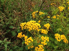 2013-08-18 12.25.55 (gulfchick912) Tags: flower newport commontansy
