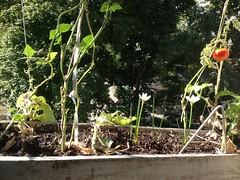 L'orto del nonno (GrusiaKot) Tags: family home tomato ukraine growing kharkov kharkiv ucraina