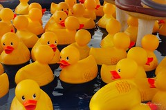 So Much Rain (Little Hand Images) Tags: game water ducks rubberducks midwaygame yellowrubberducks fairgroundsgame vastatefair2015