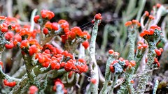 British Soldier Lichen (johnny.ramsay) Tags: macro lichen waterdrops cladonia britishsoldiers spiderthread