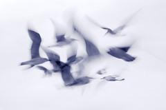 Study of Seagullls: Part 3 (2015-08-16) (snjscuba) Tags: uk england seagulls motion blur bird birds islands fly flying moving movement action seagull flight isles scilly scillies