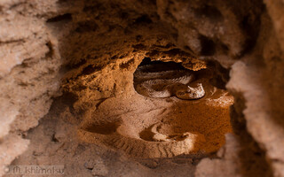 Colorado Desert Sidewinder -  Crotalus cerastes laterorepens, in situ