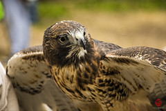 Zihna (Mark Kaletka) Tags: bird illinois hawk wildlife raptor ambassador predator rehab redtailedhawk rehabilitation elburn foxvalley foxvalleywildlifecenter