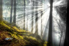 fantastic autumn light (Klaus Steinert) Tags: autumn trees sun mist fog forest early nikon nebel herbst natur explore rays dust sunrays wald bäume morgen morgens mornig strahlen sonnestrahlen platinumheartaward worldsbestnikonshot