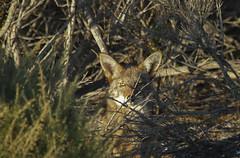 The Morro Bay State Park Marina Coyote (Atascaderocoachsam) Tags: coyote