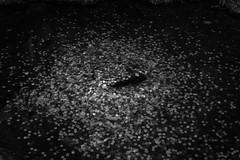Wishes (Evacamillas) Tags: blackandwhite white money black water japan silver grey pond coin kyoto outdoor luck wish
