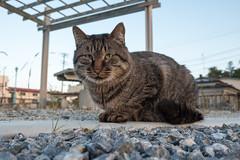 (GenJapan1986) Tags: 2016          japan island fujifilmx70 sabusawajima cat animal miyagi