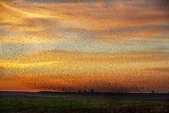 El cielo se cubri de ... (Heranv) Tags: atardecer laguna pitillas bandada