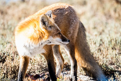 Red Fox at IBSP - 2 (RGL_Photography) Tags: us newjersey unitedstates wildlife fox oceancounty mothernature animalkingdom wildkingdom ibsp redfox vulpesvulpes carnivora islandbeachstatepark berkeleytownship barnegatpeninsula nikond610 tamronsp150600mmf563divcusd
