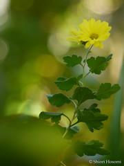 Chrysanthemum (細見撓 Shiori Hosomi) Tags: november flowers plants japan tokyo 花 chrysanthemum asteraceae 植物 2015 菊 asterales キク 足立区 キク科 菊科 キク目 東京23区 キク属 菊目 イエギク 菊属