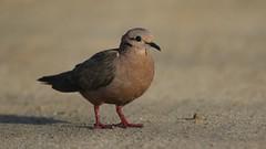Eared Dove (Matt Scott Wildlife Photography) Tags: bird birds canon sand dove aruba explore palmbeach eareddove canon7dmark2 canon400mmdousm
