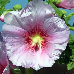 rose trmire (Pauline) Tags: fleur promenade bateau marais fier leder dars arsenr