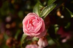 20151207_017_2 (まさちゃん) Tags: 山茶花 椿 ピンクの花