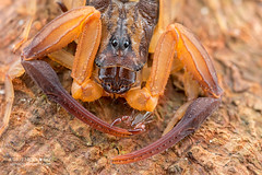 Pseudoscorpion on bark scorpion (Lychas scutilus) - DSC_0993 (nickybay) Tags: macro singapore scorpion mandai pseudoscorpion scorpiones lychas pseudoscorpionida scutilus mandaitrack7