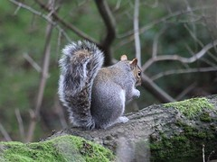 Gray Squirrel - Sciurus carolinensis