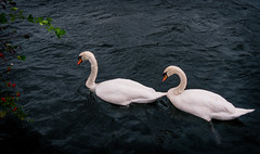 Swans (SimplSam) Tags: london lumix panasonic swans southall ealing g7 threebridges