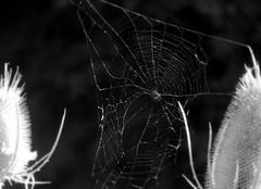 Spinnennetz im Altmhltal (One-Basic-Of-Art) Tags: sw bw schwarzundweis schwarz weis blackandwhite black white noiretblanc noi blanc gris gray grau 1basicofart annewoyand anne woyand fotografie photography photo photos foto fotos canon kameracanon spinne spinnennetz spider