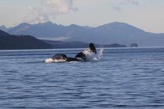 Humpback Whales feeding of Alaska. (Seckington Images) Tags: whale flickr alaska humpback
