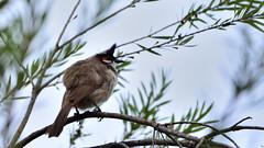 SA1_7824 (saurabh_kelkar2001) Tags: wild wildlife bird birds bulbul