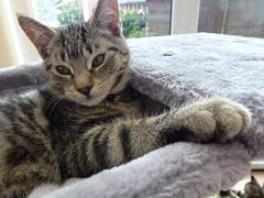 Mara ! (Mara 1) Tags: tabby stripes black grey coat face eyes ears window indoors cat animal pet