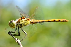 Dragonfly closeup, it was very patient DSC_1753 (Me now0) Tags: dragonfly park summer nikond5300 closeup 1855mmf3556 basiclens 5300        insect commondarter sympetrumstriolatum male