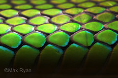 Ptyas nigromarginatus scales (Max Ryan's Wildlife Photography) Tags: ptyas nigromarginatus ratsnake snake scales green macro
