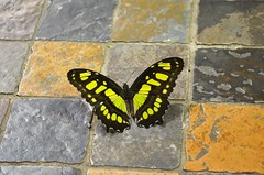 Green and Black butterfly (danalcreek) Tags: butterfly green black ecuador amazon tropical smithsonian museum natural history stone