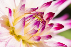 Macro Dahlia (CarolynEaton) Tags: dahlia macro flower