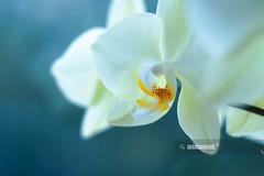 Orchid (akincansenol) Tags: 500px nature flower tropical flora elegant bright no person exotic petal garden orchids romance phalaenopsis blooming beautiful macro still life