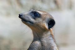 Erdmnnchen (astroaxel) Tags: deutschland zoo duisburg nordrheinwestfalen nordrhein westfalen nrw erdmnnchen