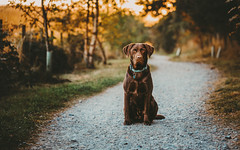 Ziggy (Greig Reid) Tags: dof portrait color face cute chocolatelabrador depthoffield labrador naturallight ziggy sitting availablelight dog colour chocolate family choclab lab eyes