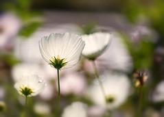 Cosmos (mclcbooks) Tags: flower flowers floral cosmos denverbotanicgardens colorado bokeh white